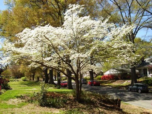 Flowering-dogwood